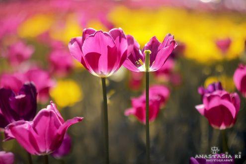 Фото Розовые тюльпаны на размытом фоне, фотограф Anastasia Ri