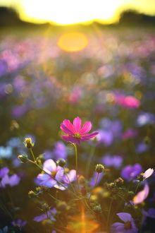 Фото Цветы космеи в солнечном свете, фотограф Rain Lee