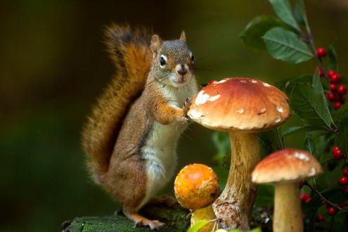 Фото Белочка стоит у гриба, фотограф Andre Villeneuve
