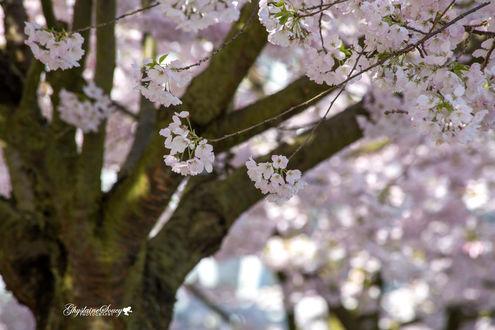 Фото Цветущее весеннее дерево, by gigi50