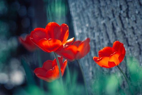 Фото Красные тюльпаны у дерева, фотограф Sorin Mutu