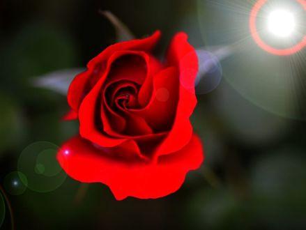 Фото Красная роза на размытом фоне