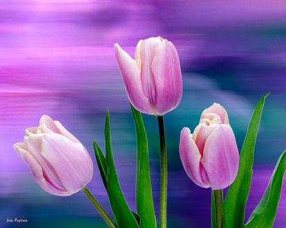 Фото Розовые тюльпаны на размытом фоне, by John Pagliuca