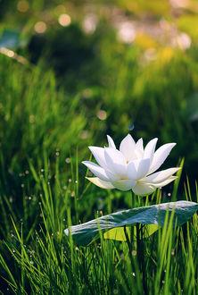 Фото Белый лотос среди зеленой травы, фотограф Tuаn Nguyеn