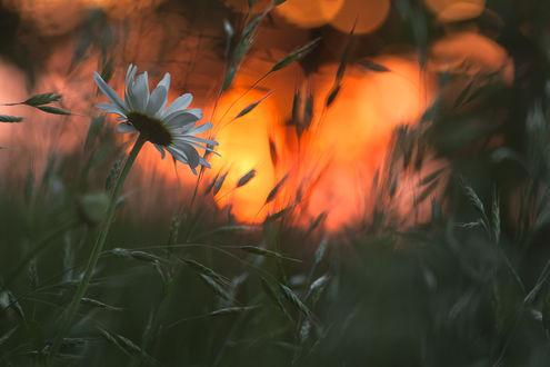 Фото Ромашка на размытом фоне природы. Фотограф Gabriel Prescornita
