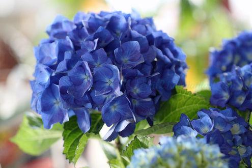 Фото Цветущая голубая гортензия, by Egil21