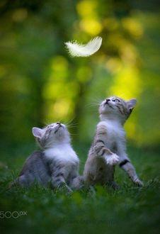 Фото Котята смотрят вверх на перо