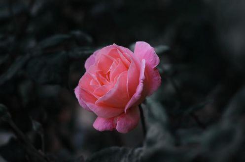 Фото Розовая роза на размытом черно-белом фоне, фотограф Yousef Espanioly