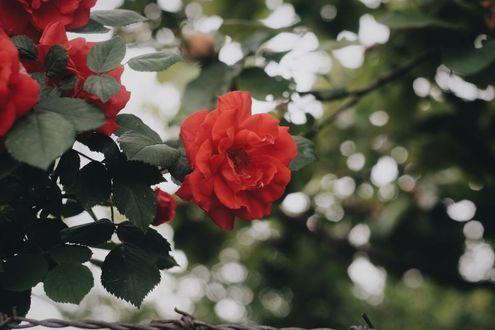 Фото Красные розы на размытом фоне