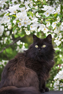 Фото Черный пушистый кот под цветущей веточкой, by Thunderi