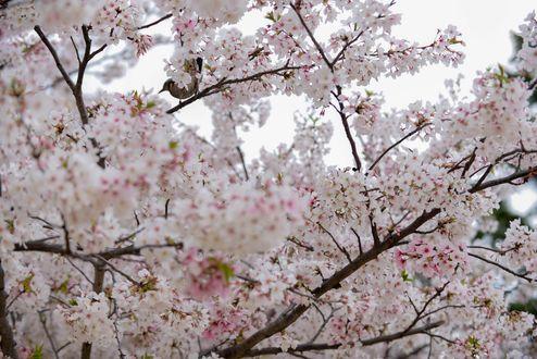 Фото Весеннее цветущее дерево, by naruo0720