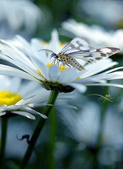 Фото Бабочка сидит на ромашке, фотограф Mohan Duwal