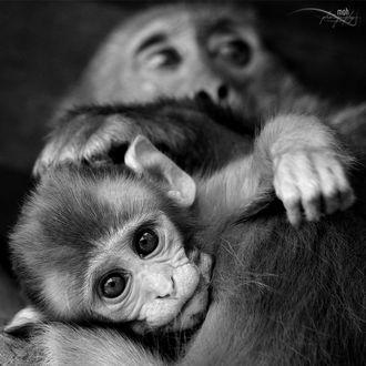 Фото Детеныш обезьяны в объятиях мамы, фотограф Mohan Duwal