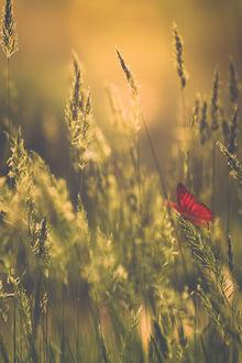 Фото Красная бабочка на колоске