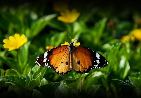 Фото Яркой рассцветки бабочка на желтом цветке