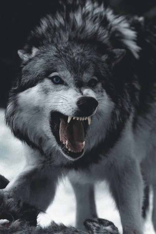 вконтакте фото волков