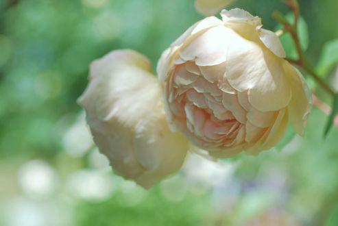 Фото Две белые розы, фотограф cateв™Є