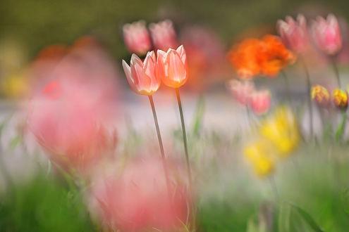Фото Нежные тюльпаны на размытом фоне, фотограф Li Feng (© zmeiy), добавлено: 14.07.2017 13:26