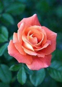 Фото Розовая роза крупным планом (© zmeiy), добавлено: 16.07.2017 11:18