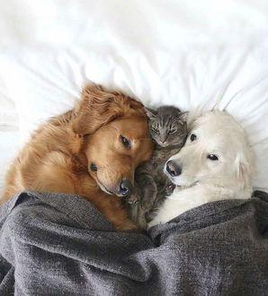 Фото На постели под одеялом, между рыжим и белым псом, лежит серая кошка, by KevlarYarmulke