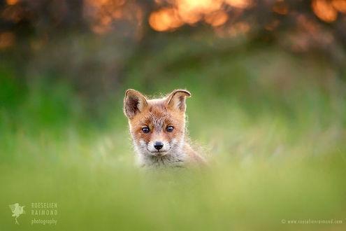Фото Лисенок на природе, фотограф Roeselien Raimond