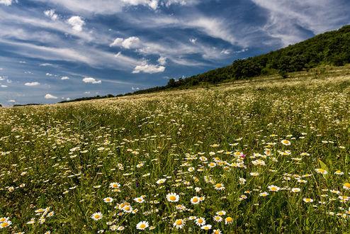 Фото Полевые ромашки под облачным небом, фотограф Svilen Simeonov