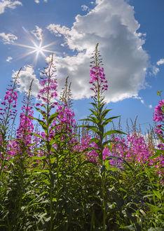 Фото Цветы иван-чая под облачным небом. Фотограф Лашков Федор