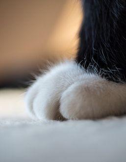 Фото Лапка котенка крупным планом