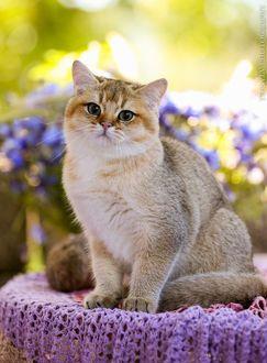 Красивая персикового цвета кошка, обои с кошками 54
