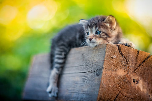 Фото Котенок лежит на бревне, фотограф Юрий Коротун
