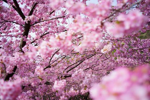 Фото Цветущая весной розовыми цветами ветка сакуры, ву Hitoshi NAKAMURA
