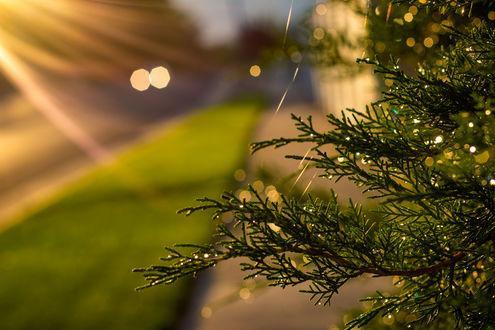 Фото Хвойная веточка в каплях росы