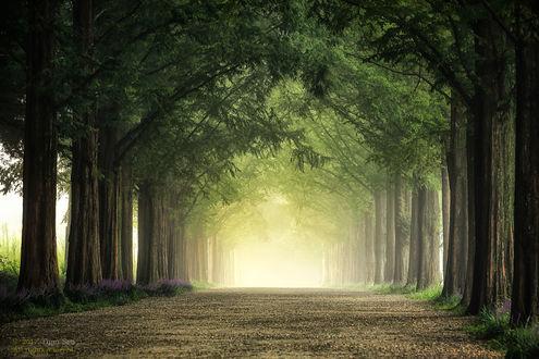 Фото Дорога между зелеными деревьями, уходящая в туманную дымку, фотограф Tiger Seo