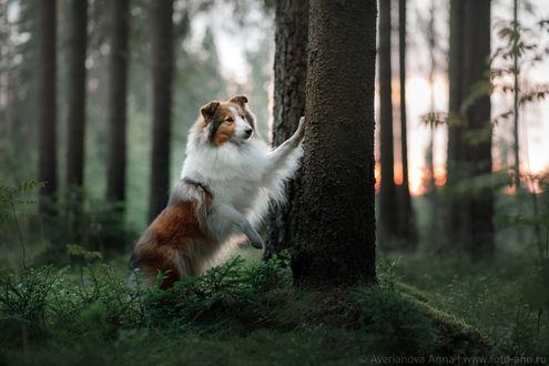 Фото Пес породы Колли стоит у дерева, фотограф Анна Аверьянова