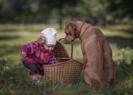 Фото Пес Риджбек смотрит на девочку, которая что-то достает из корзины, фотограф Андрей Селиверстов