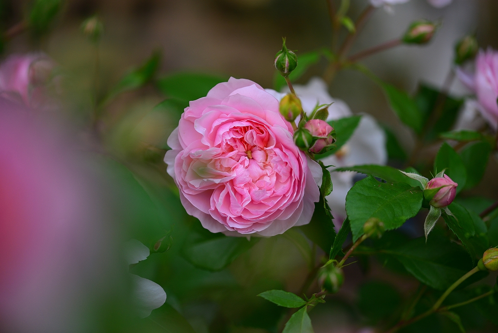Фото Розовая роза с бутонами, by naruo0720