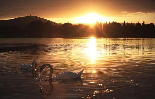 Фото Лебеди на озере, на закате, by wiingzz