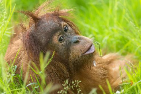 Фото Орангутанг лежит в траве, фотограф Jean-Claude Sch