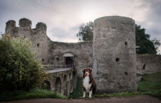 Фото Пес сидит на фоне крепости. Фотограф Анна Аверьянова