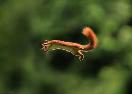 Фото Белка в прыжке. Фотограф Полюшко Сергей