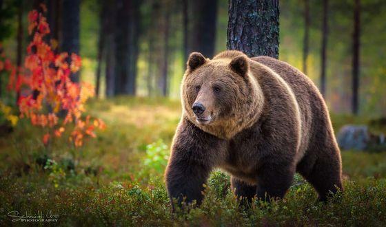 Фото Бурый медведь на природе