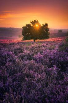Фото Розовый восход солнца в Netherlands / Нидерландах над полем сиреневого вереска, фотограф. Albert Dros