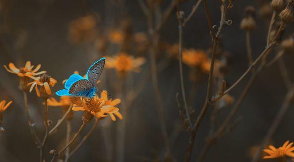 Фото Голубая бабочка на желтом цветке, фотограф Mevludin Sejmenovic