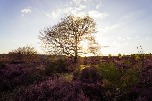 Фото Дерево на поле с вереском, фотограф Rick Giesbers