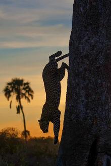 Фото Леопард Фураха в прыжке на фоне восхода солнца, фотограф Marc MOL
