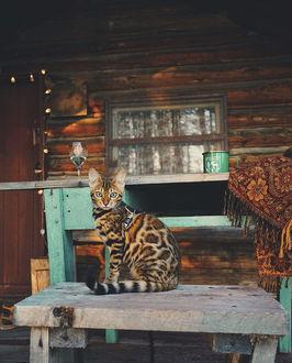 Фото Бенгальская кошка Саки сидит на столе