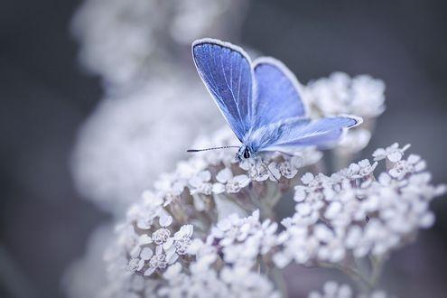 Фото Голубая бабочка на соцветии