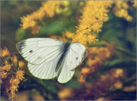 Фото Белянка на цветах золотарника, фотограф Optina