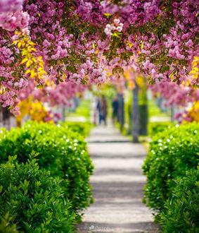 Фото Розовые цветы сакуры над тратуаром, фотограф Mike Pellinni