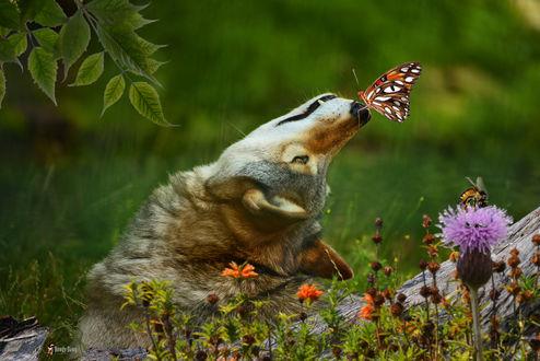 Фото Волк с бабочкой на носу, by Rowdy-Dawg